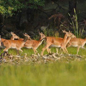 Чакат ново поколение от малки еленчета