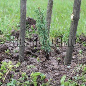 """Засадиха атласки кедър на """"Ямача"""" в Хасково"""