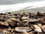 Топлинен шок: Стотици хиляди сварени миди на новозеландски плаж