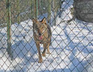 Хасковлийка: Вълкът от Кенана ме ухапа. Продължават хайките за залавянето му